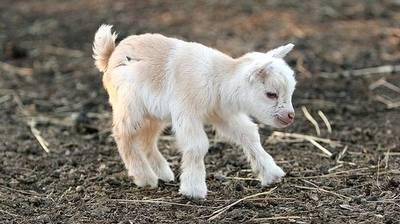 Goats pt 2.